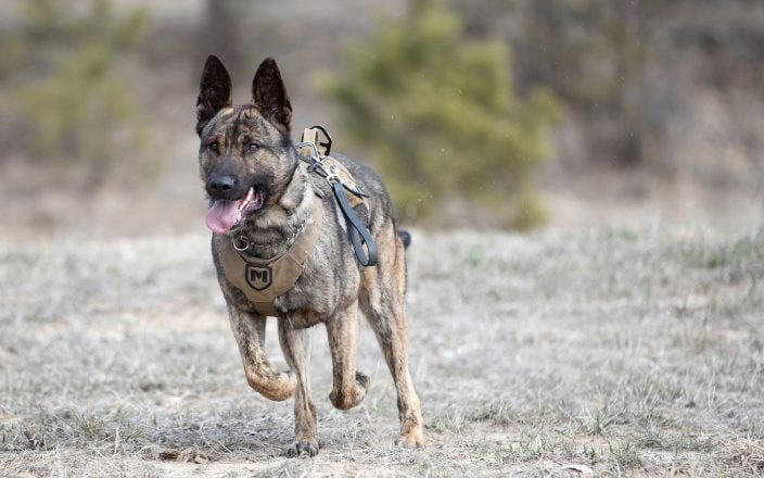 K-9 officer Blu, in vest and harness, trotting towards the camera over a field of dry grass